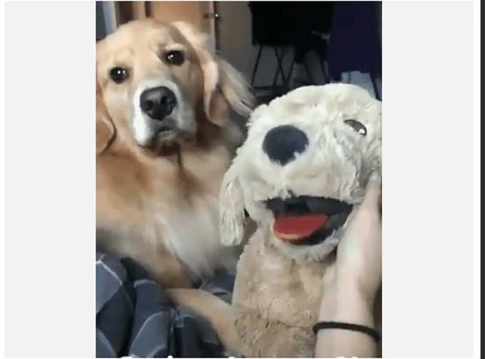 Real dog jealous of toy dog