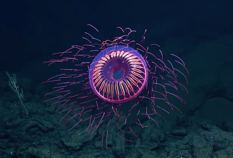 Watch this undersea vehicle's close encounter with a shimmering purple jellyfish