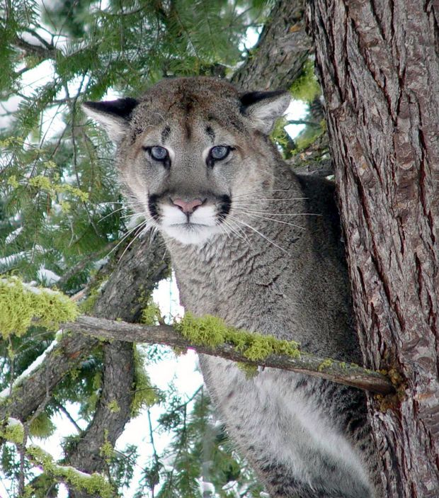 Cougar visiting oregon hotel drugged then killed boing for Department of fish and wildlife washington