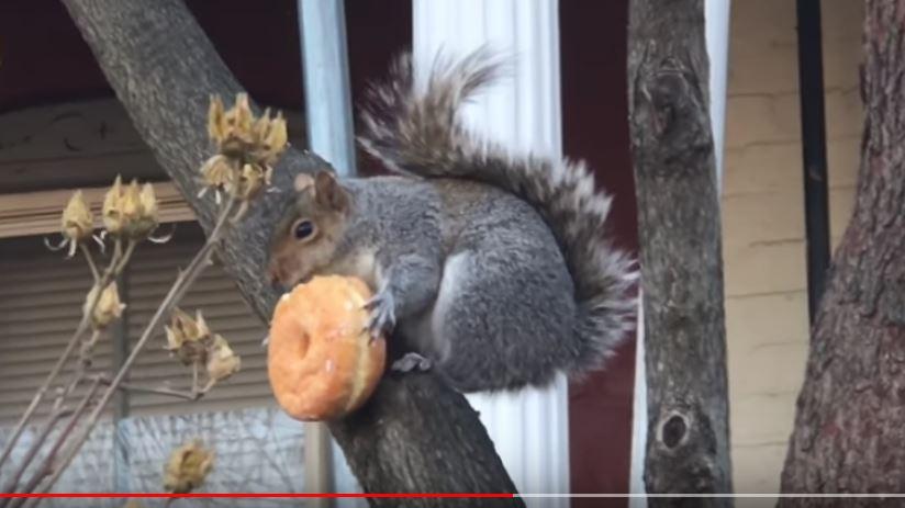 Squirrel Eats Glazed Donut Boing Boing