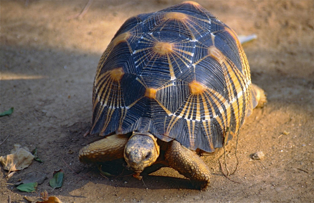 Police discover over 10,000 endangered tortoises jammed into one small house