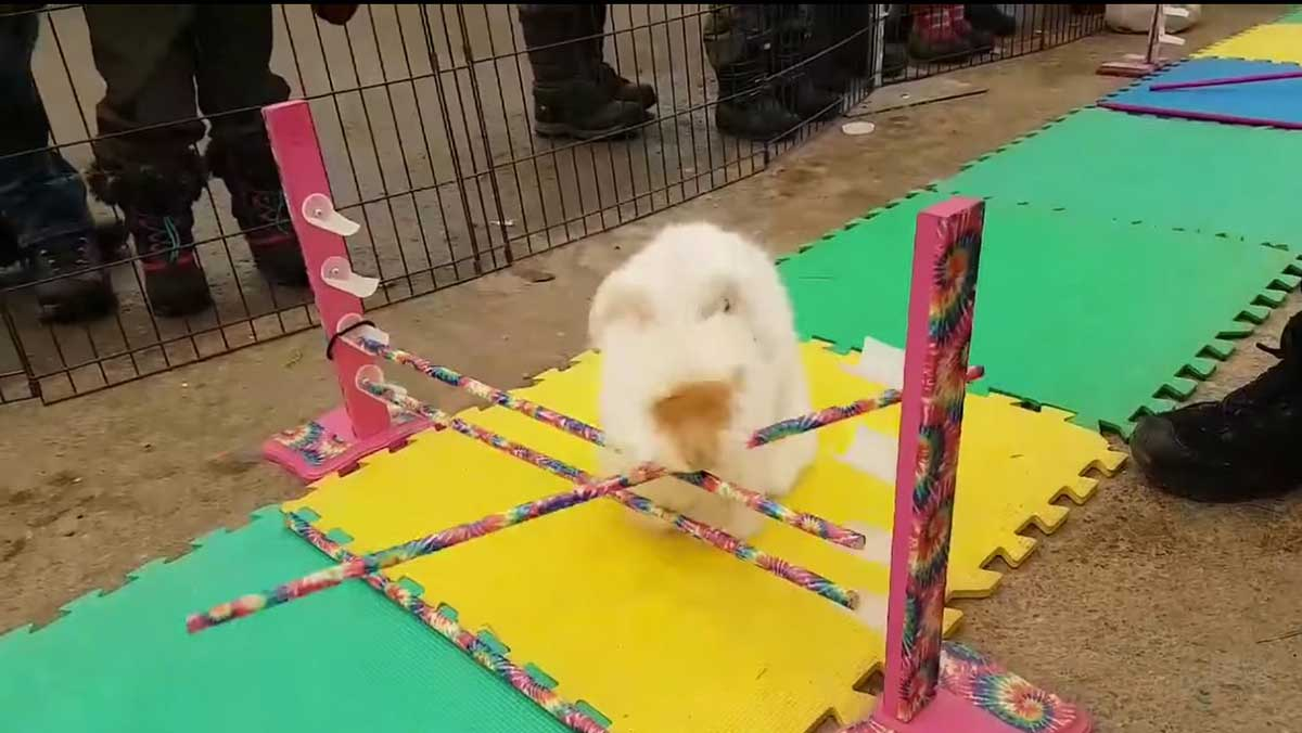 bunny complete obstacles course by dismantling it boing boing