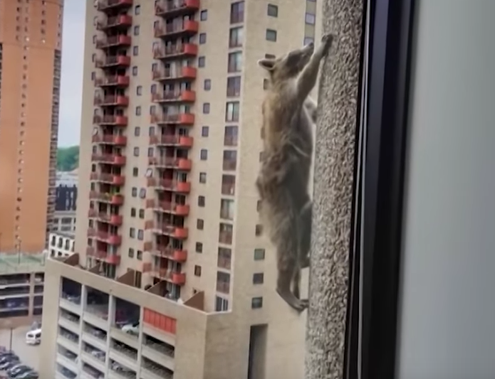 Raccoon Climbs Up Side Of Skyscraper As World Watches With Bated