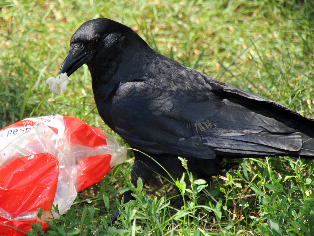 Crows being trained to pick up trash at French park
