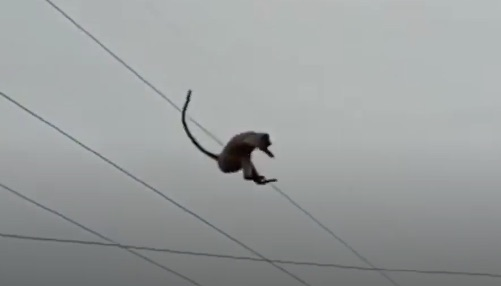 Watch this monkey stick the landing in an impressive 100 foot jump