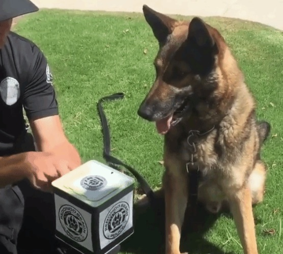 Watch how much this police dog loves (or hates) a Jack-in-the-box surprise toy