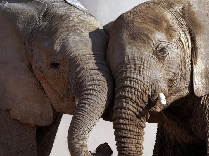 d8503c6068b7 Save The Elephants  How DNA revealed the 3 cartels behind most of Africa s ivory  smuggling