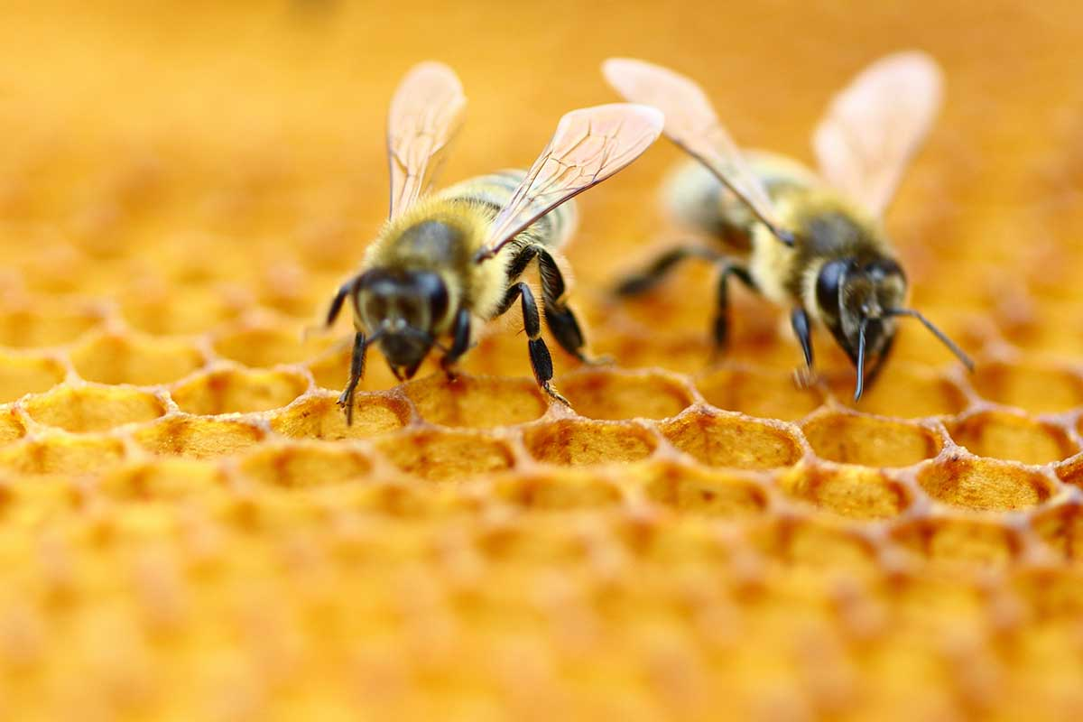 roundup disrupts honey bee gut bacteria boing boing