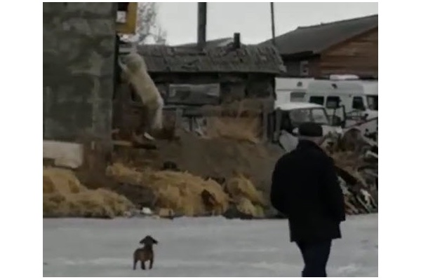Polar bear got lost in <b>Russia</b>, hundreds of miles from home [video ...