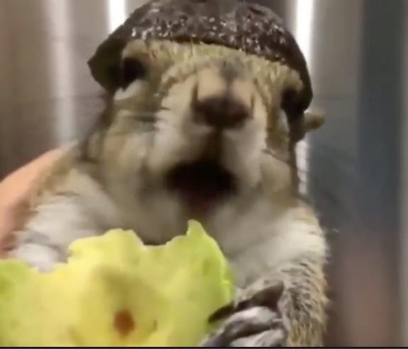 Squirrel enjoys eating avocado while wearing avocado helmet