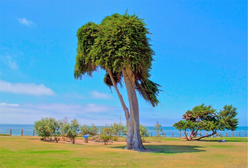 The Tree That Inspired Dr Seuss S The Lorax Has Fallen Boing Boing