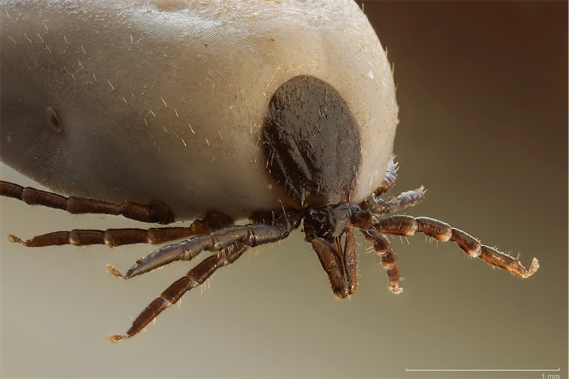 Did the US try to weaponize ticks?