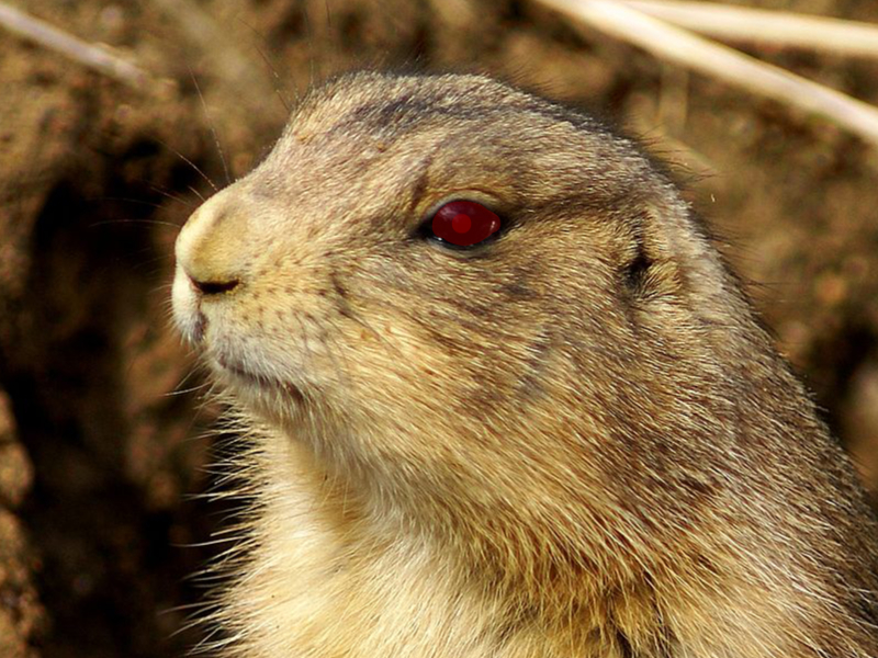 Now the prairie dogs are out to get us