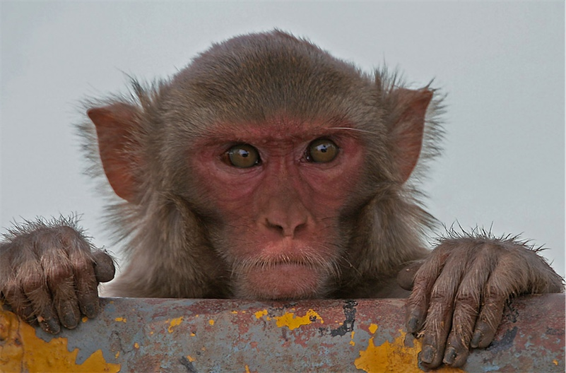 Monkeys can discern the order of items in a list, a skill that may help them manage their social lives