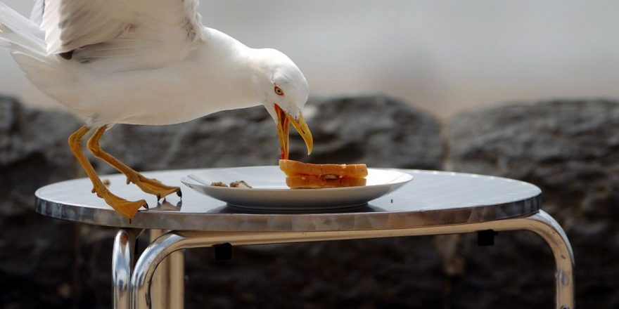 Staring at seagulls may deter them from stealing your food, research says